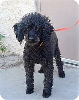 Poodle (Miniature) Mix Dog for adoption in Poughkeepsie, New York - Malcolm
