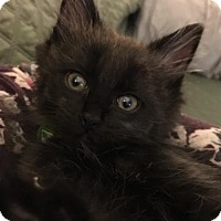 Domestic Longhair Kitten for adoption in Livonia, Michigan - C24 Litter-Finny
