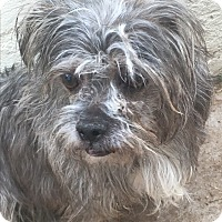 Lhasa Apso Mix Dog for adoption in Phoenix, Arizona - Eve