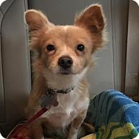 Adopt A Pet :: Gingerbread - Palo Alto, CA