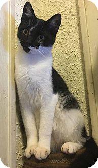 Domestic Shorthair Kitten for adoption in Middletown, Ohio - Domino