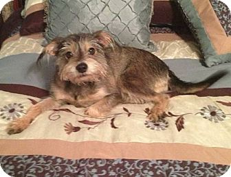 Yorkie, Yorkshire Terrier/Schnauzer (Miniature) Mix Dog for adoption in Flower Mound, Texas - Abby