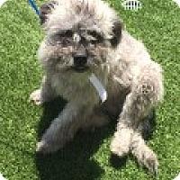 Adopt A Pet :: Sasha - Las Vegas, NV