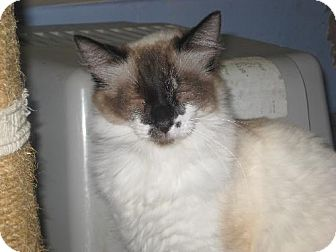 Siamese Cat for adoption in Coos Bay, Oregon - Avalon