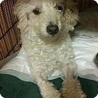Adopt A Pet :: Sal - Manhattan Beach, CA
