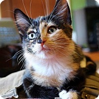 Calico Cat for adoption in St. Paul, Minnesota - Bandit