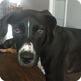 Great Dane/Labrador Retriever Mix Dog for adoption in oklahoma city, Oklahoma - Jasper