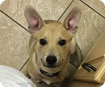 German Shepherd Dog Mix Puppy for adoption in Dripping Springs, Texas - Rocko-Referral