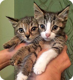 Domestic Shorthair Kitten for adoption in Brooklyn, New York - Masha and Caesar, Bonded Tabby Sibs