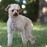 Adopt A Pet :: FRANZ - Ile-Perrot, QC