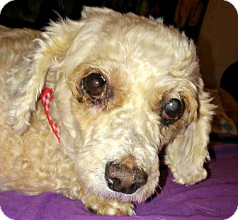 Poodle (Miniature) Mix Dog for adoption in Beverly Hills, California - Lilly