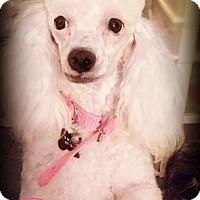 Adopt A Pet :: SNOW - Phoenix, AZ