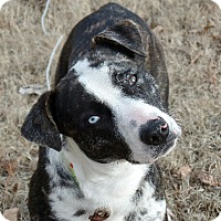 Adopt A Pet :: Blue - Washington, DC