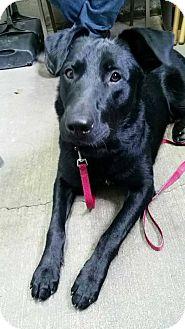 Labrador Retriever Mix Dog for adoption in Marion, Kentucky - Sam