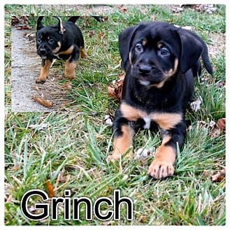 Rottweiler/German Shepherd Dog Mix Puppy for adoption in Garden City, Michigan - Grinch