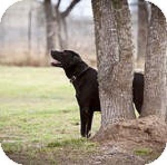 Labrador Retriever Dog for adoption in Katy, Texas - Razz