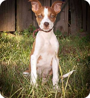 Chihuahua/Terrier (Unknown Type, Small) Mix Puppy for adoption in Atlanta, Georgia - Suzy Lee