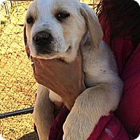 Adopt A Pet :: *Tulip - PENDING - Westport, CT