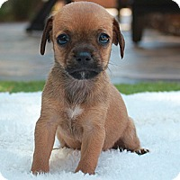 Adopt A Pet :: Tiny Rocky - La Habra Heights, CA