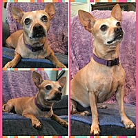 Adopt A Pet :: Ginger - Cherry Valley, CA