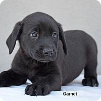 Adopt A Pet :: Garnet - Old Saybrook, CT