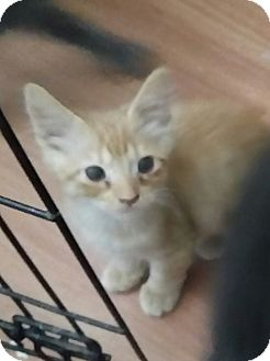Domestic Mediumhair Kitten for adoption in temecula, California - pumpkin