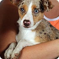 Adopt A Pet :: Cole Mini Aussie - St. Louis, MO