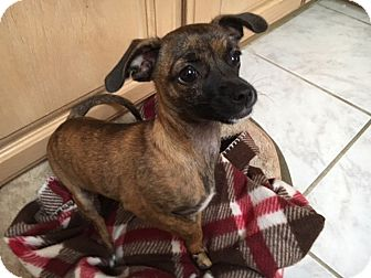 Chihuahua Mix Puppy for adoption in San Diego, California - Trey