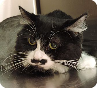 Domestic Longhair Cat for adoption in Sioux City, Iowa - PATCHY