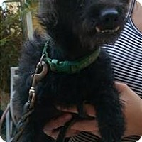 Terrier (Unknown Type, Small)/Poodle (Miniature) Mix Dog for adoption in Encino, California - Gremlin