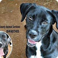Adopt A Pet :: A077405 - Grovetown, GA