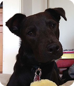 Retriever (Unknown Type)/Whippet Mix Puppy for adoption in Sudbury, Massachusetts - Adonis