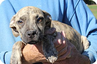 Pit Bull Terrier Mix Puppy for adoption in Colonial Heights, Virginia - Tinder