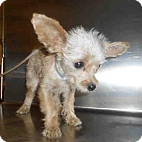Terrier (Unknown Type, Medium) Puppy for adoption in Long Beach, California - *DIXIE