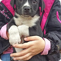 Adopt A Pet :: Three's Company Pups--arriving soon - Chichester, NH