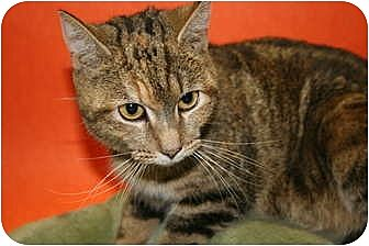 Domestic Shorthair Cat for adoption in SILVER SPRING, Maryland - APRIL