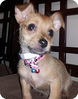 chihuahua rescue houston belle pending adoption adopted puppy rescue houston 5895