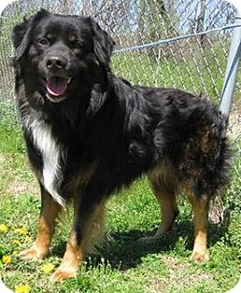Brandt Adopted Dog Elgin Il Rottweiler Bernese Mountain Dog Mix