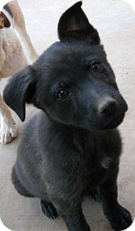 German Shepherd Dog/Labrador Retriever Mix Puppy for adoption in dewey, Arizona - Jade