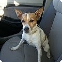 Rat Terrier Dog for adoption in Winder, Georgia - Sadie
