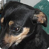 Adopt A Pet :: Shanaynee - Seattle, WA