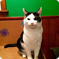 Domestic Shorthair Cat for adoption in Rochester, Minnesota - Jasper