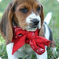 Adopt A Pet :: Bassett Puppies - Brattleboro, VT
