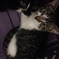 Bengal Kitten for adoption in Sunny Isles Beach, Florida - Tank