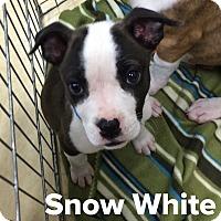 Adopt A Pet :: Snow White - Livermore, CA