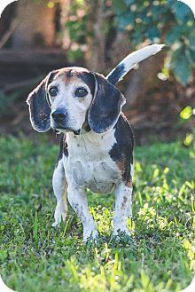 Beagle Dog for adoption in Miami, Florida - Bradley the Beagle