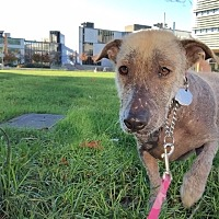 Adopt A Pet :: Oso - Adoption Pending - Vancouver, BC