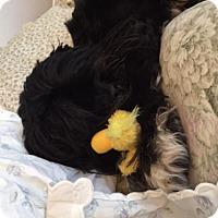 Adopt A Pet :: Barney - San Rafael, CA