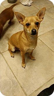 Chihuahua Mix Dog for adoption in Rancho Cucamonga, California - BOB