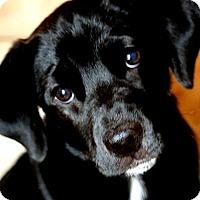 Adopt A Pet :: FINN(WOW! GORGEOUS PB LAB PUP! - Wakefield, RI